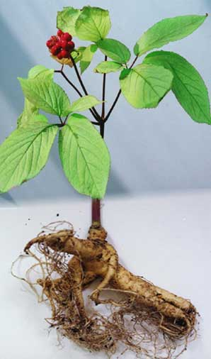 Plant and root Panax ginseng