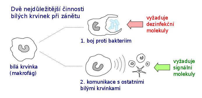 Dve najpomembnejši dejavnosti belih krvnih celic pri vnetju