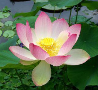 lotus indian