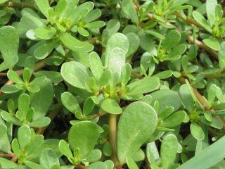 šrucha zelná