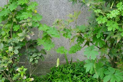 Balsam apple - a planta inteira (Autor: Boris Štítnicka)