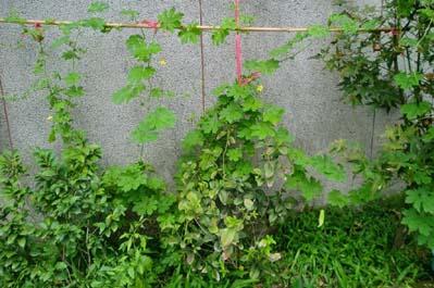 Balsam apple - cijela biljka (Autor: Boris Štítnický)