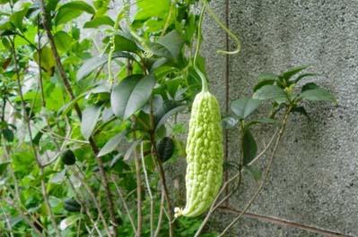 Momordika - fruits à maturité (auteur: Boris Štítnický)
