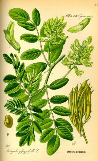 Kozinec (Astragalus)