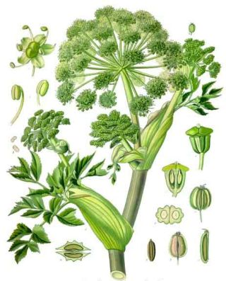 Chinese Angelica (Angelica sinensis)