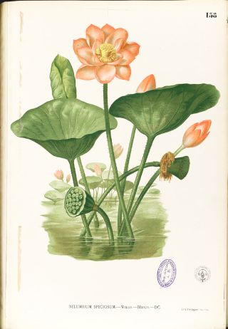 Indian Lotus (Nelumbo nucifera)