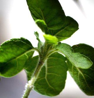 Bazalka posvátná (Ocimum sanctum, Ocimum tenuiflorum)