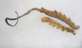 Chenilles chinoises (Cordyceps sinensis)