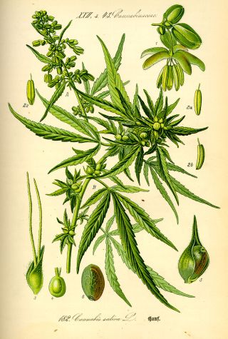 Cannabis sativa (Cannabis sativa)